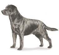 labdogpicture